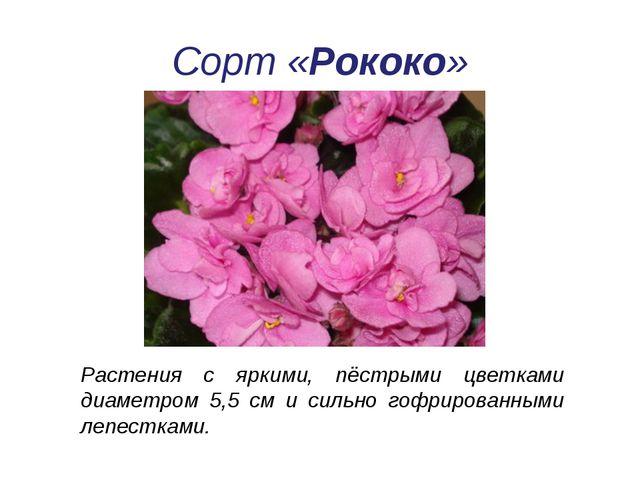 Растения с яркими, пёстрыми цветками диаметром 5,5 см и сильно гофрированными...
