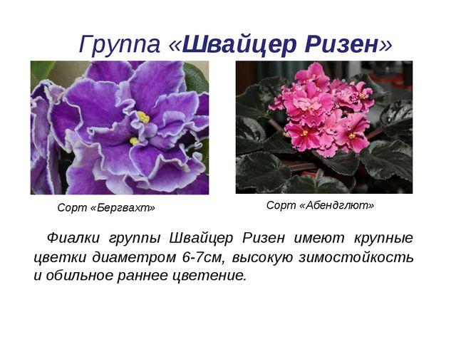 Группа «Швайцер Ризен» Фиалки группы Швайцер Ризен имеют крупные цветки диаме...