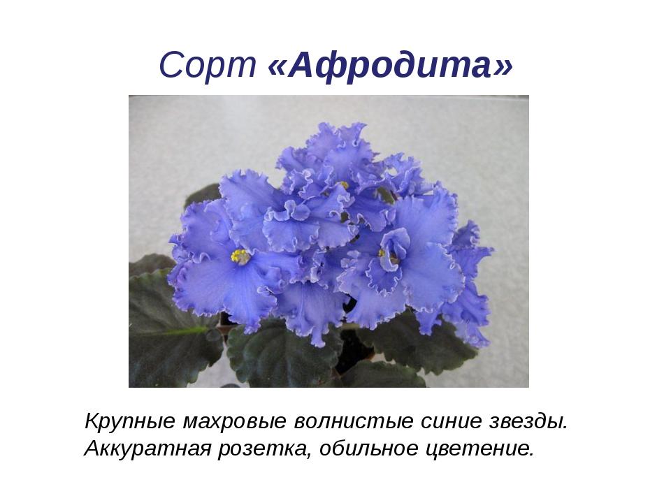 Сорт «Афродита» Крупные махровые волнистые синие звезды. Аккуратная розетка,...