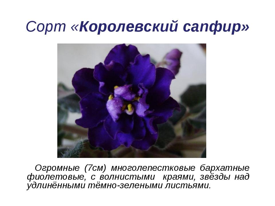 Сорт «Королевский сапфир» Огромные (7см) многолепестковые бархатные фиолетовы...