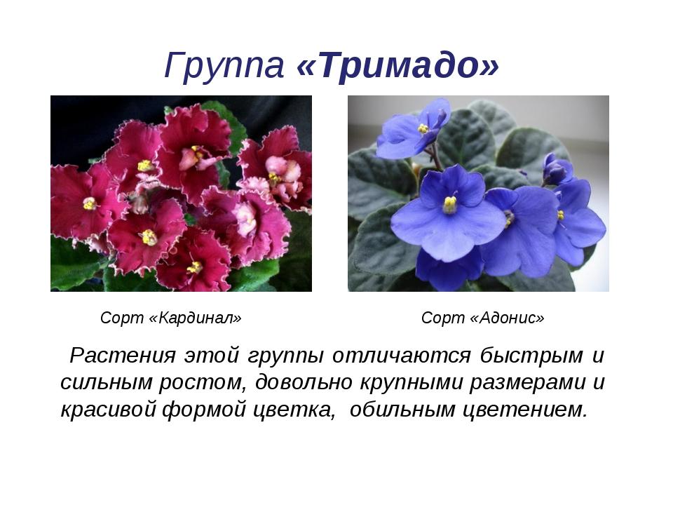 Группа «Тримадо» Растения этой группы отличаются быстрым и сильным ростом, до...