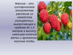Малина – это кустарниковое многолетнее растение из семейства розоцветных, выр