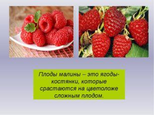 Плоды малины – это ягоды-костянки, которые срастаются на цветоложе сложным пл