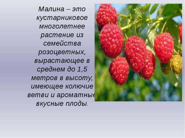 Малина – это кустарниковое многолетнее растение из семейства розоцветных, выр...