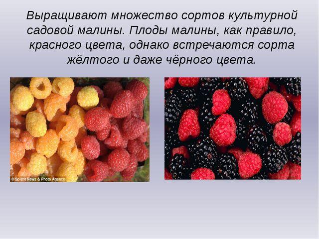 Выращивают множество сортов культурной садовой малины. Плоды малины, как прав...