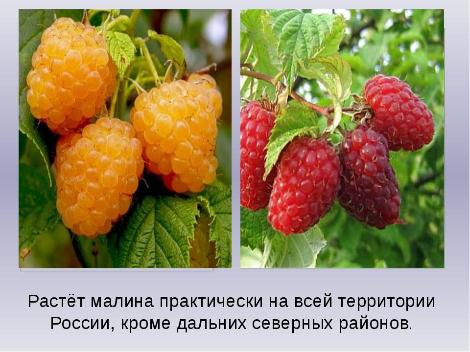 Растёт малина практически на всей территории России, кроме дальних северных р...