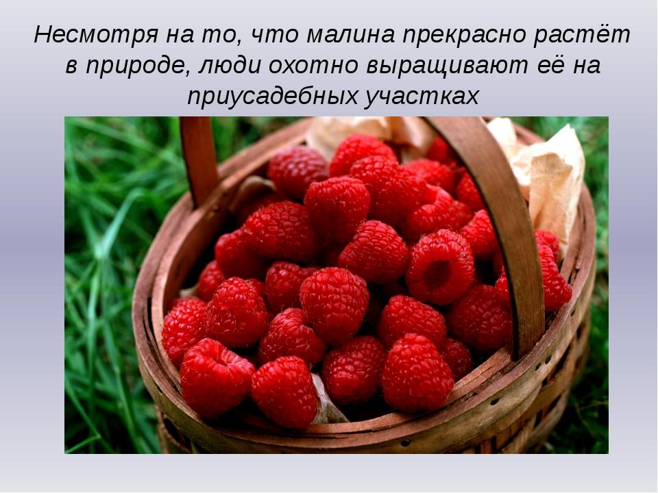 Несмотря на то, что малина прекрасно растёт в природе, люди охотно выращивают...