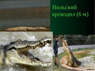 Нильский крокодил (6 м)