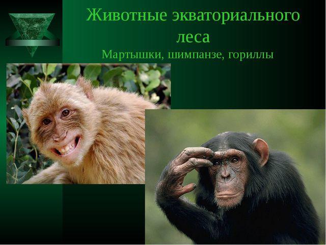 Животные экваториального леса Мартышки, шимпанзе, гориллы