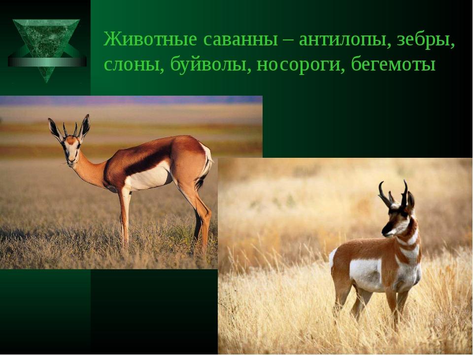 Животные саванны – антилопы, зебры, слоны, буйволы, носороги, бегемоты