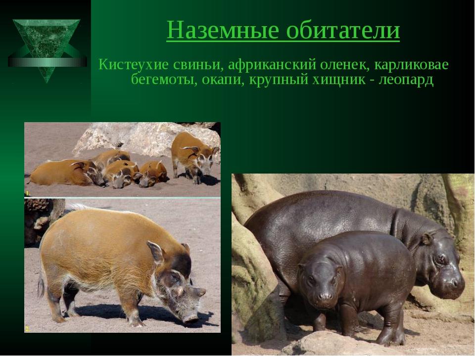 Наземные обитатели Кистеухие свиньи, африканский оленек, карликовае бегемоты,...