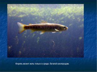 Форель может жить только в среде, богатой кислородом.