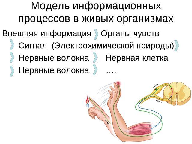 Модель информационных процессов в живых организмах Внешняя информация Органы...