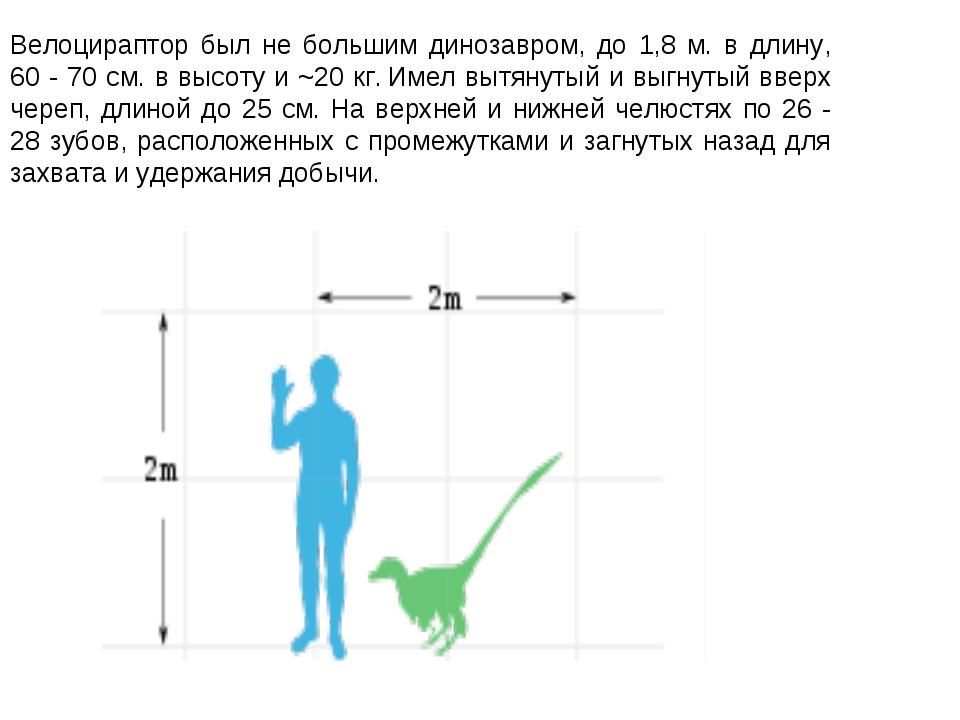 Велоцираптор был не большим динозавром, до 1,8 м. в длину, 60 - 70 см. в высо...