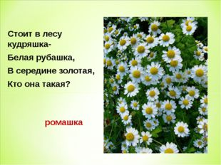 Стоит в лесу кудряшка- Белая рубашка, В середине золотая, Кто она такая? рома
