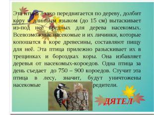 Эта птица ловко передвигается по дереву, долбит кору и длинным языком (до 15