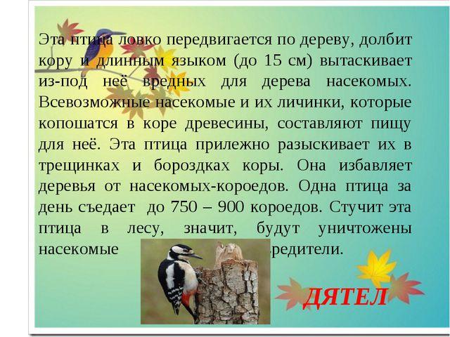 Эта птица ловко передвигается по дереву, долбит кору и длинным языком (до 15...