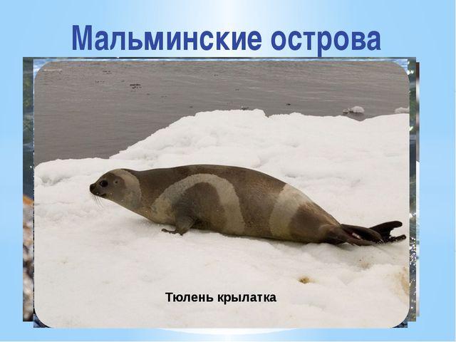 Мальминские острова Лахтак Морской лев Нерпа Кольчатая нерпа Тюлень крылатка