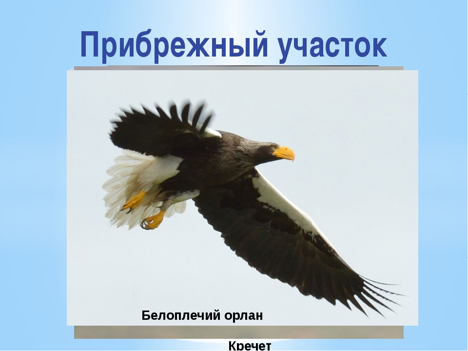 Прибрежный участок Кречет Беркут Сокол сапсан Белоплечий орлан