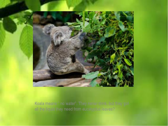 """Koala means """" no water"""". They never drink, but they get all the liquid they..."""