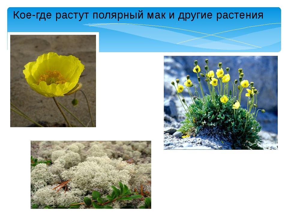 Кое-где растут полярный мак и другие растения