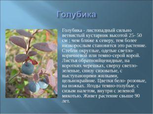 Голубика - листопадный сильно ветвистый кустарник высотой 25- 50 см ; чем бли