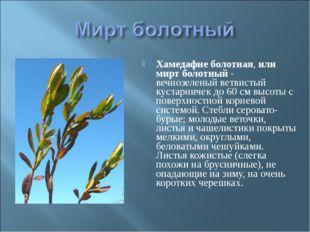 Хамедафне болотная, или мирт болотный - вечнозеленый ветвистый кустарничек до