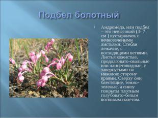 Андромеда, или подбел – это невысокий (3- 7 см ) кустарничек с вечнозелеными