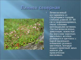 Вечнозеленый кустарничек со стелющимся тонким стеблем длиной 20- 80 см и укор