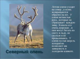 Летом олени уходят на север , а осень возвращаются обратно на юг. У оленя вет