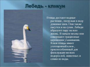 Птицы достают водные растения , погружая в воду длинные шеи. Они также пасутс