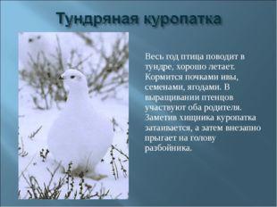 Весь год птица поводит в тундре, хорошо летает. Кормится почками ивы, семенам