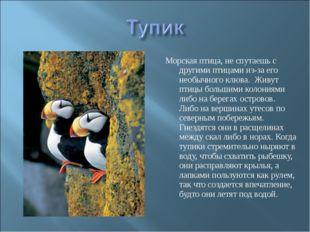 Морская птица, не спутаешь с другими птицами из-за его необычного клюва. Живу