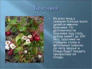 Из всех ягод у северян больше всего ценится именно брусника. По долговечности