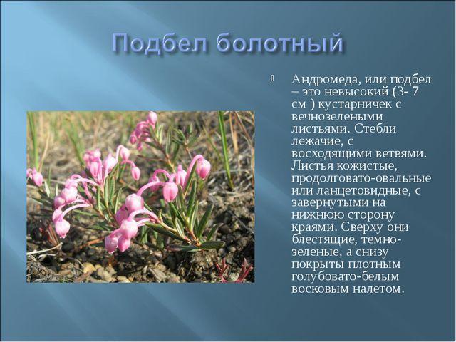 Андромеда, или подбел – это невысокий (3- 7 см ) кустарничек с вечнозелеными...
