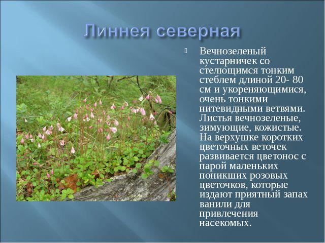 Вечнозеленый кустарничек со стелющимся тонким стеблем длиной 20- 80 см и укор...