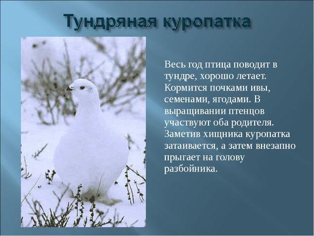 Весь год птица поводит в тундре, хорошо летает. Кормится почками ивы, семенам...