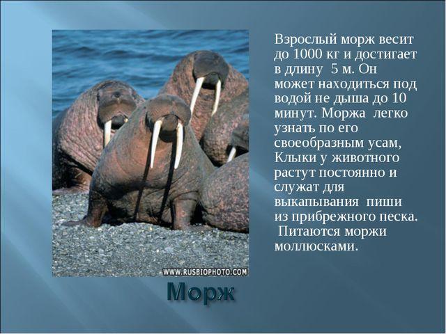Взрослый морж весит до 1000 кг и достигает в длину 5 м. Он может находиться п...