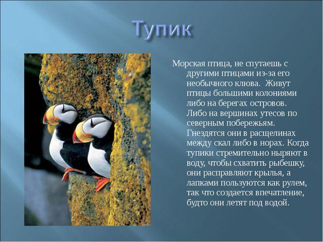 Морская птица, не спутаешь с другими птицами из-за его необычного клюва. Живу...
