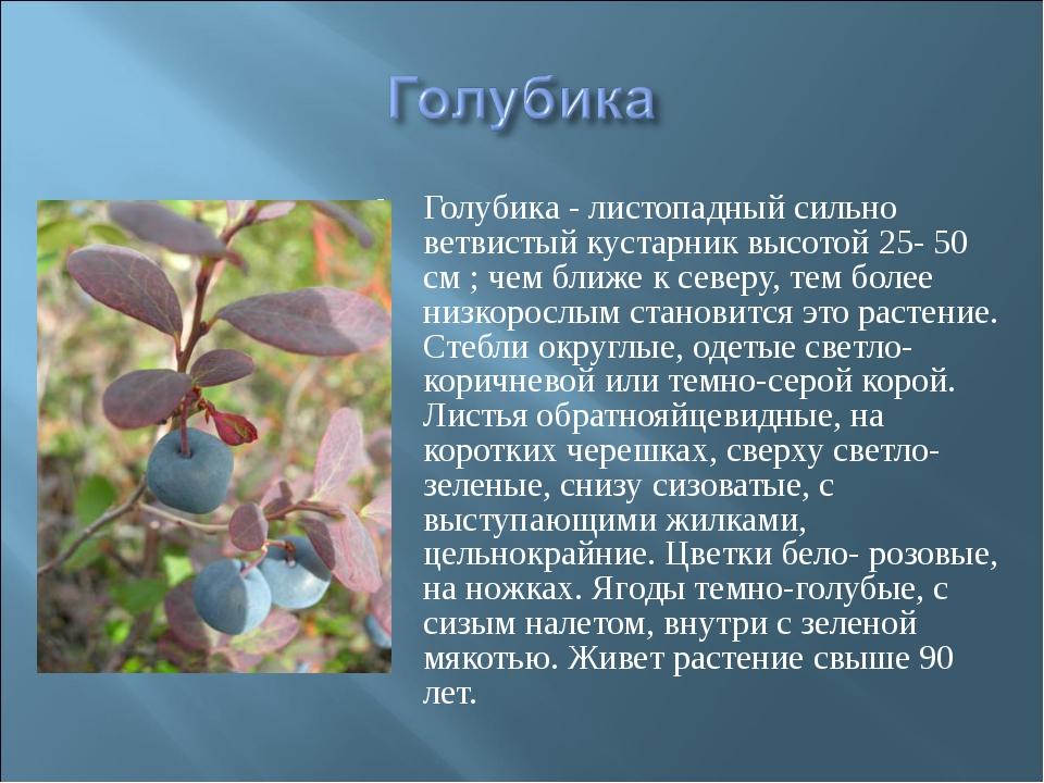 Голубика - листопадный сильно ветвистый кустарник высотой 25- 50 см ; чем бли...