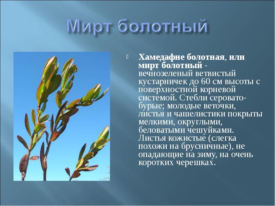 Хамедафне болотная, или мирт болотный - вечнозеленый ветвистый кустарничек до...