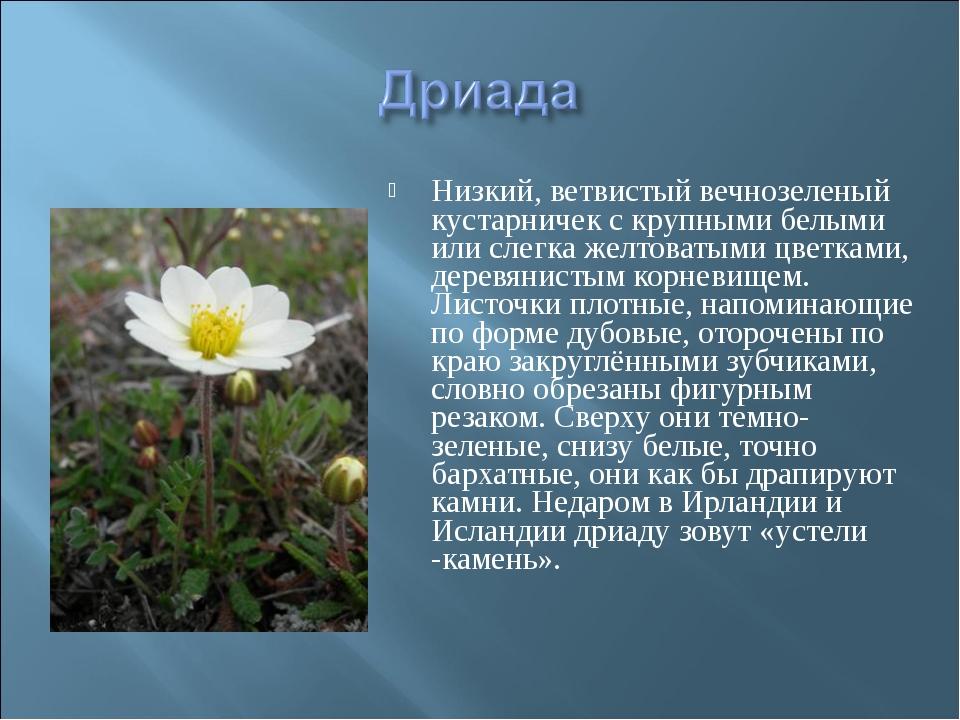 Низкий, ветвистый вечнозеленый кустарничек с крупными белыми или слегка желто...