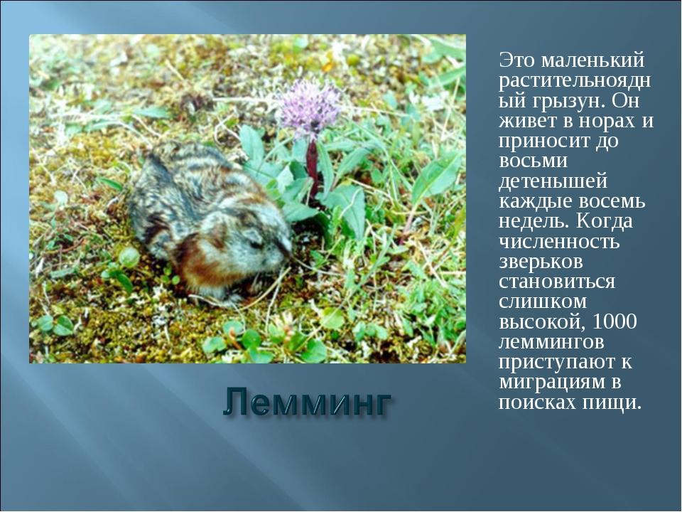 Это маленький растительноядный грызун. Он живет в норах и приносит до восьми...