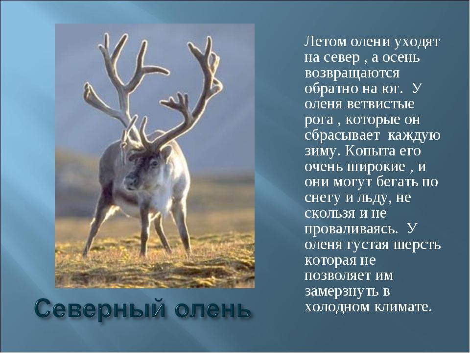 Летом олени уходят на север , а осень возвращаются обратно на юг. У оленя вет...