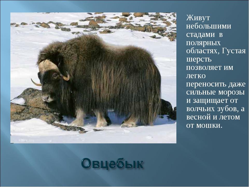 Живут небольшими стадами в полярных областях, Густая шерсть позволяет им легк...