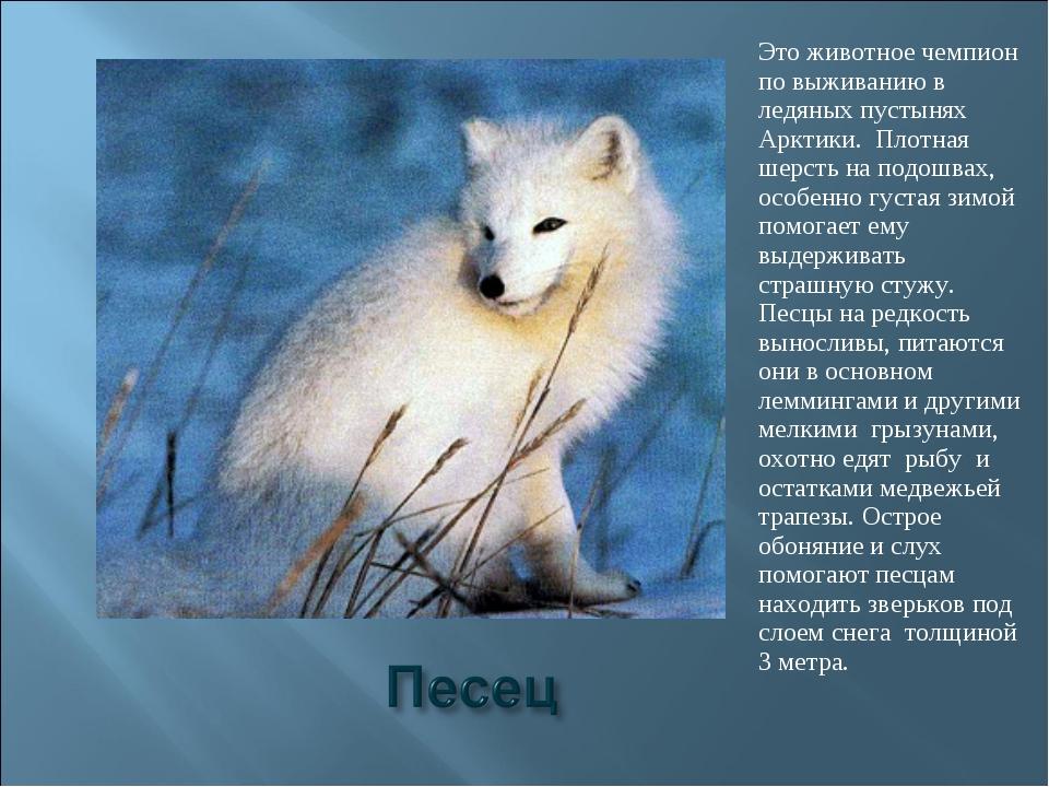 Это животное чемпион по выживанию в ледяных пустынях Арктики. Плотная шерсть...