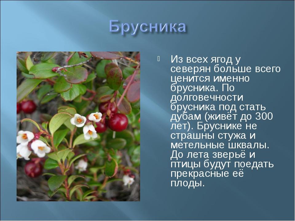 Из всех ягод у северян больше всего ценится именно брусника. По долговечности...