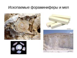 Ископаемые фораминиферы и мел