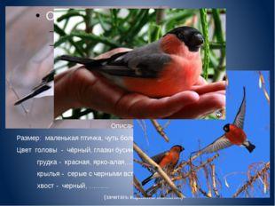 Описание снегиря. Размер: маленькая птичка, чуть больше воробья Цвет головы
