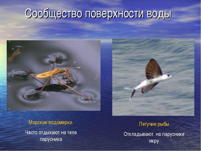 Сообщество поверхности воды Морские водомерки Часто отдыхают на теле парусник...